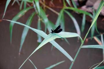 葦の葉っぱにとまるハグロトンボのオス