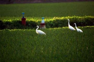 田んぼに水が入ってしばらくすると、サギが集まり始めます。チュウサギの集団と思われます。