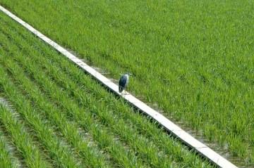 別な日のゴイサギ。こういう場所が好きみたいです。この子の飾り羽根はお茶目にカールしています。