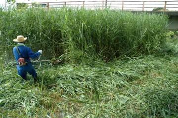 背丈以上ある葦を刈るMさん。この時点で水は脛ぐらいまであります。