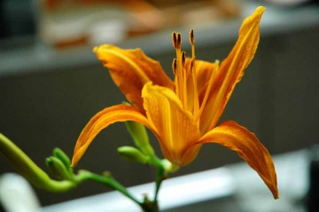 一瞬にして開いたと思われる、台所のコップ挿しにしたノカンゾウの花。