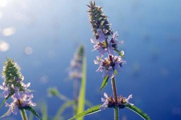 イヌゴマの花