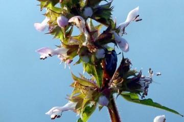 イヌゴマの花 アップ