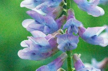 クサフジ 花の拡大。