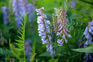 8月、クサフジとクサフジの花