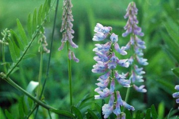 クサフジ 色はヤハズエンドウよりは青っぽく、色の薄い紫です。