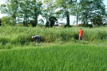 手前が稲、真ん中が葦とセイタカアワダチソウ、そして奥がニセアカシア、不思議な三段構造の写真になりました。