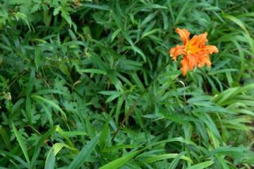 ヤブカンゾウの花、ノカンゾウの花と良く似ていますが、八重咲きになっています。