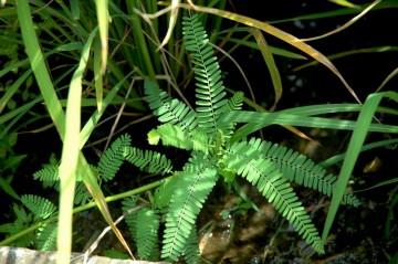 クサネム 相当大きくなる草だそうですが、7月の時点ではこんなもんです。稲のすぐ脇に出ちゃっています。