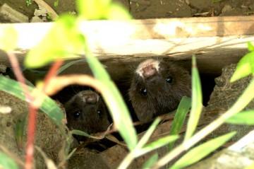 イタチ 真っ黒なつぶらな瞳が4つ。穴の中からこちらを伺っています。お〜〜〜〜かわいいじゃん!