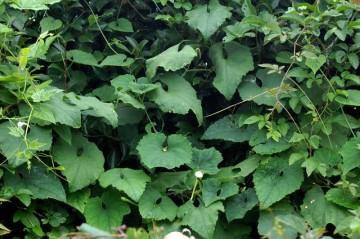 カラスウリ 夏に入ってから自分にしてはずいぶんと草刈りをしているはずなのに、すっかり茂っちゃってます。