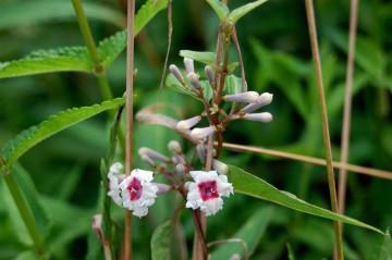 ヘクソカズラの花 かわいらしい花がたくさん付いています