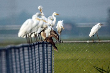 白鷺の間で何かを狙うように首を延ばすホシゴイ