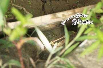 イタチがくわえている写真は撮り損ねたんですが、カエルです。カエルが食べられるんでは食料に困ることはないですね。