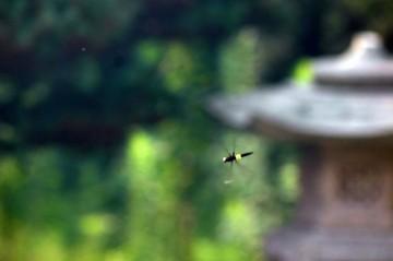 コシアキトンボ♀(腰空トンボ) 飛んでいるトンボを写真に撮るのは難しいなあ。