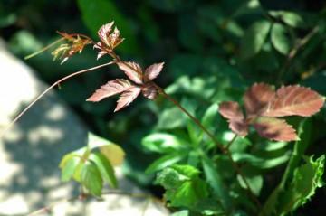 ヤブガラシ(ビンボウカズラ)先端はそれでも柔らかく、若干赤みを帯びています。ビンボー化の標的を見定めている若芽です。