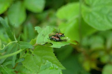 カラスウリの若葉を食べるマメコガネ