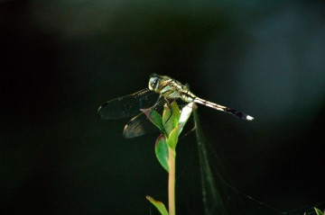 シオカラトンボ(♀)ムギワラトンボはシオカラトンボのメスの俗称なのでした。