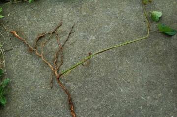 ヤブガラシの根。テキは油断していたのか、左の茶色い根っこが地上に出ていて、あちこちに伸びていました。地面に潜るのがめんどくさくなっちゃったみたいです。全員ぶった切ってやりました。
