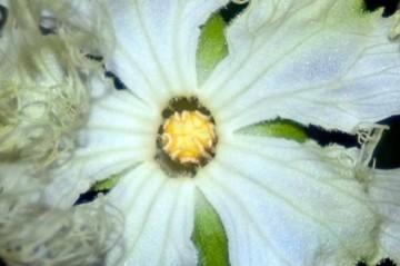カラスウリの雄花 中央がドーム状になっているのが見えます