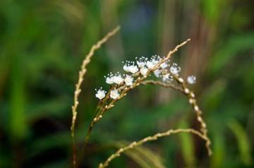 サクラタデ つぼみの小さいものは桜色です。根本から順に咲いていくのはシソの仲間と同じなのかな?