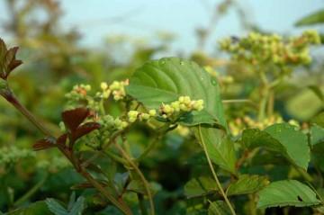 ヤブガラシの花芽?
