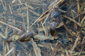 わずかに水面に出ている草や枝などには、ダンゴムシや、毛虫、カメムシなどが避難して、必死にしがみついているのでした