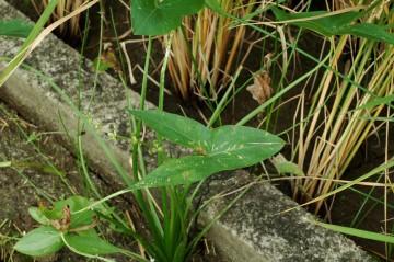 コンクリートの畔にほとんど張り付いて生えているオモダカ。矢じりの形の葉っぱがよくわかります。