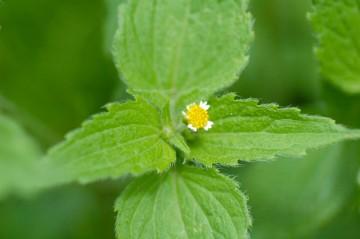 ハキダメギク 葉っぱは柔らかそうな白い毛が生えています 花は思い切り小さい