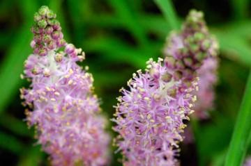 ツルボの花