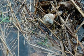 カタツムリも浮いている藁に必死に捕まっています