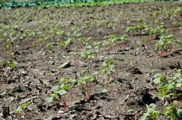 蕎麦が芽を出しました