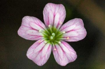 ヌカイトナデシコ 小さな小さな花なので、大サーピスしてどアップしにしてみました。