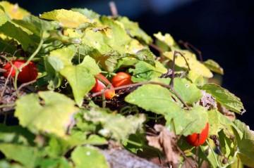 カラスウリ 葉っぱも黄色くなって、その影にぼこぼこ赤い実が覗いています。