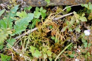 ミズワラビの胞子葉 はっきり言って気持悪い 右のほうにトキワハゼの花が見えています
