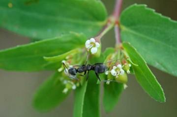 ニシキソウ アリンコが食事にきたのでしょうか? それと比べれば花の小ささがわかります。
