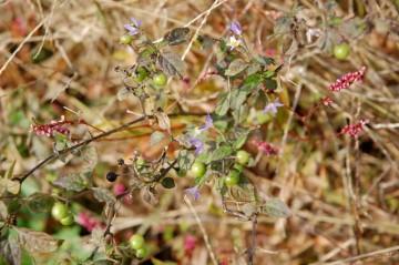 かたや11月中旬、アメリカイヌホウズキの写真。イヌタデと一緒に写っています。まわりはすっかり黄色になっています。まだ花も咲いていますが、さすがに瑞々しさは失われています。