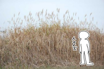 オギ 背が高く、穂はススキに似ていますが、大きくふわふわしています。ススキの様に一つの株からわっと生えていなくて、平面的に生えています。