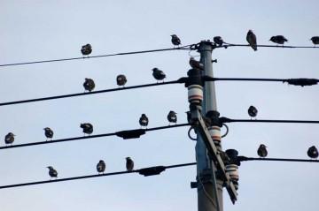 ムクドリだったかは忘れましたが、このように電線に止まっている鳥を楽譜に見立てて演奏したという話題がありました。「現代音楽!」って感じの音でした。家の前に図らずもできているこの楽譜はどんな音なのでしょう? まあ、これじゃ4線符で音楽にはならないのかもしれませんが・・・