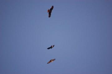 一番上トンビ、真ん中カラス、一番下ノスリと思われる鳥