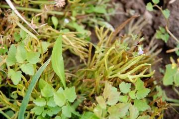 11月のミズワラビ。中央右寄りに見える緑のサンゴみたいなヤツがミズワラビです。