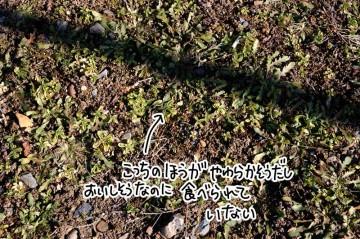 Aさんが言う冬草。冬にこうやって生えている雑草の総称。柔らかそうな草もあるのにこういったものは食べられていない。