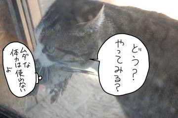 虎猫がモズをくわえていました。モズは地面に降りがちなのか、ネコによく撃墜されています。でも、モズ、生きているんです。
