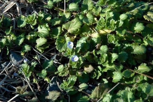 12月11日のオオイヌノフグリ。水戸市大場町の花