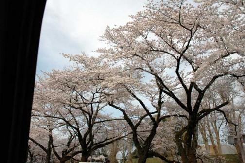 茨城県旧県庁の桜