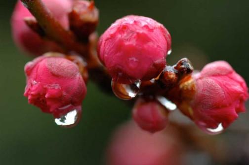 ふくらんできていた紅梅のつぼみは