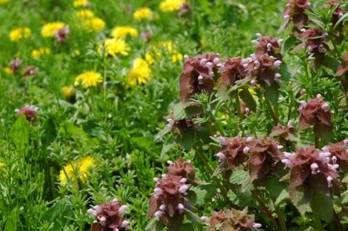 ヒメオドリコソウ いつのまにかセイヨウタンポポも咲いて、ピンクと黄色の競演になってます
