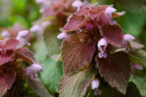 ヒメオドリコソウ 「日なた派」は葉っぱが赤シソ色?紫色?