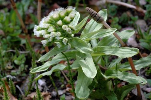 2012年4月17日のふきのとう 立派なトウが立っています 花が咲いています
