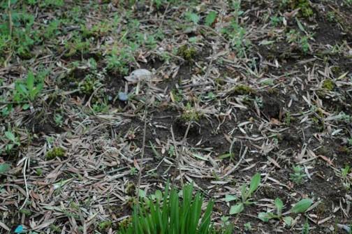 ツルボ4月 枯れた花茎の根本に芽を出します。球根なんですよね。